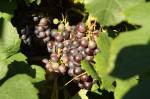 Utopischer Weinanbau - Harriersand